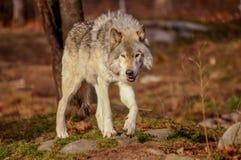Lobo gris que camina en la caída, Quebec, Canadá Foto de archivo