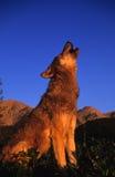 Lobo gris que grita en la salida del sol Imagenes de archivo
