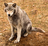 Lobo gris que le mira foto de archivo libre de regalías