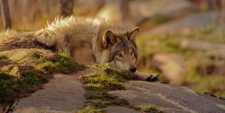 Lobo gris que parece derecho Fotos de archivo libres de regalías