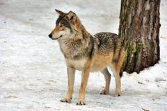 Lobo gris salvaje en bosque del invierno Fotografía de archivo libre de regalías