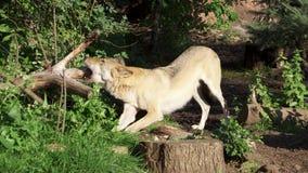 Lobo gris salvaje hambriento en árbol penetrante del bosque verde Caza peluda del lobo del lupus de canis en parque nacional espe metrajes