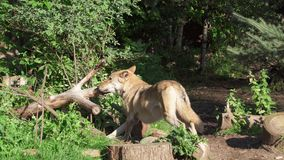 Lobo gris salvaje hambriento en árbol penetrante del bosque verde Caza peluda del lobo del lupus de canis en parque nacional espe almacen de video