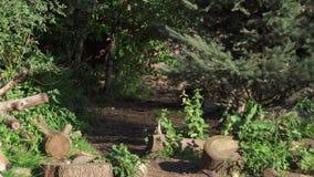 Lobo gris salvaje hambriento que corre en la caza peluda del lobo del lupus de canis del bosque verde en parque nacional espeso metrajes