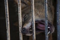 Lobo hambriento Fotografía de archivo libre de regalías