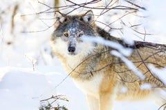 Lobo hermoso que se coloca en el bosque frío del invierno Imagen de archivo libre de regalías