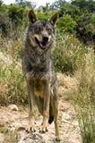 Lobo ibérico Fotografia de Stock