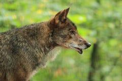 Lobo ibérico Foto de Stock