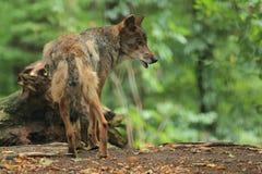 Lobo ibérico Imagens de Stock