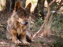 Lobo ibérico que se acuesta en el bosque Fotos de archivo libres de regalías
