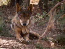 Lobo ibérico que se acuesta en el bosque Fotos de archivo