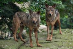 Lobo ibérico y x28; Signatus& x29 del lupus de Canis; Imágenes de archivo libres de regalías