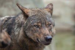 Lobo ibérico y x28; Signatus& x29 del lupus de Canis; Fotografía de archivo