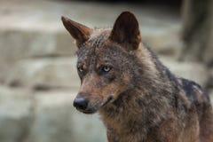 Lobo ibérico y x28; Signatus& x29 del lupus de Canis; Fotos de archivo libres de regalías