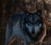 Lobo intenso nas sombras fotos de stock