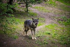 Lobo irritado imagens de stock
