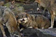 Lobo irritado fotografia de stock