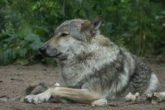 Lobo - lúpus de Canis fotografia de stock royalty free