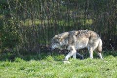 Lobo, lúpus de canis fotos de stock