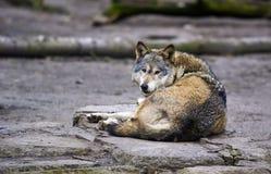 Lobo (lúpus de Canis) Fotos de Stock