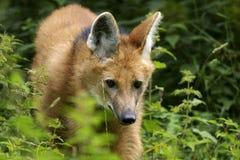 Lobo Maned, brachyurus do chrysocyon Foto de Stock