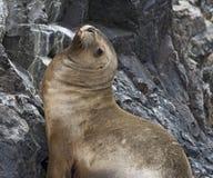 Lobo-marinho Fotos de Stock Royalty Free