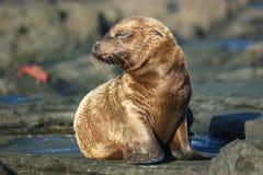 Lobo-marinho Foto de Stock