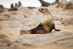 Lobo-marinho imagens de stock royalty free