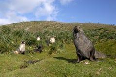 Lobo-marinho Fotos de Stock