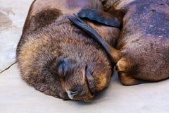 Lobo-marinho Imagem de Stock Royalty Free