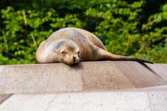 Lobo-marinho Foto de Stock Royalty Free