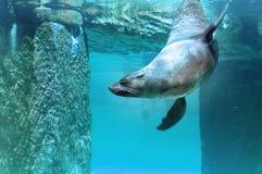 Lobo-marinho de Brown Imagens de Stock