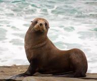 Lobo-marinho de Nova Zelândia Fotografia de Stock