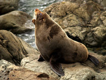 Lobo-marinho de Nova Zelândia Fotos de Stock Royalty Free