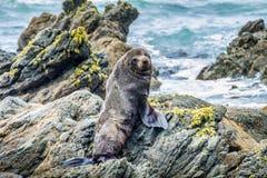 Lobo-marinho de Nova Zelândia na península de Otago Imagem de Stock Royalty Free