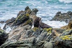 Lobo-marinho de Nova Zelândia na península de Otago Foto de Stock