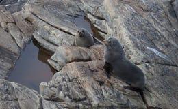 Lobo-marinho de Nova Zel?ndia, forsteri do Arctocephalus, lobo-marinho longo-cheirado com seu cachorrinho do beb? Lobo-marinho Au imagens de stock royalty free