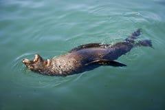 Lobo-marinho do cabo Fotos de Stock