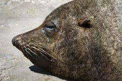 Lobo-marinho do cabo Imagens de Stock Royalty Free