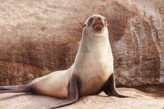 Lobo-marinho do cabo fotografia de stock