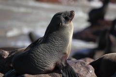 Lobo-marinho do cabo, costa de esqueleto, Namíbia Imagem de Stock Royalty Free