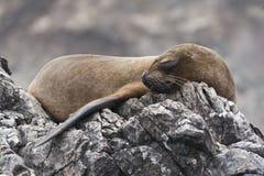 Lobo-marinho do sono Imagens de Stock Royalty Free