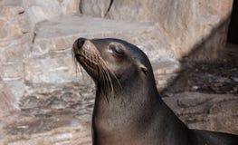 Lobo-marinho engraçado Imagens de Stock Royalty Free