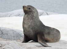 Lobo-marinho masculino que senta-se em uma rocha na costa.