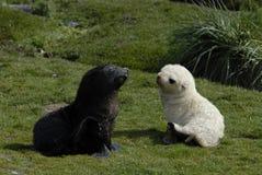 Lobo-marinho preto e branco imagens de stock royalty free