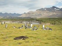 Lobo-marinho, rei Penguins e montanhas ásperas foto de stock