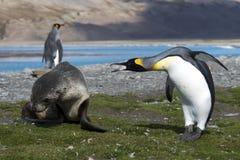 Lobo-marinhos com pinguim Foto de Stock Royalty Free