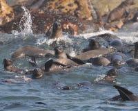 Lobo-marinhos, console do selo, África do Sul Fotos de Stock