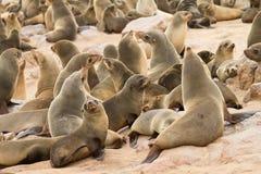Lobo-marinhos do cabo fotografia de stock royalty free