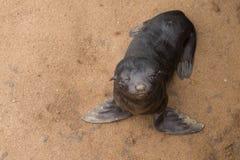 Lobo-marinhos do cabo Fotos de Stock Royalty Free